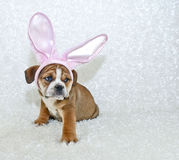 Cute Easter Bulldog Puppy Stock Photos