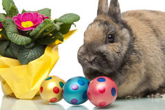Cute Easter bunny beside primrose and Easter eggs Stock Image