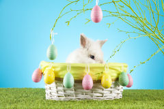 Cute Easter Bunny sitting in a wicker basket decorated with Easter eggs with  green twigs in the background Stock Photo