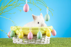 Cute Easter Bunny sitting in a wicker basket decorated with Easter eggs with  green twigs in the background Royalty Free Stock Images