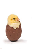 Cute easter chick. Easter concept of chick hatching from a chocolate egg - shot on white Royalty Free Stock Photography