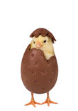 Cute easter chick in chocolate egg. Easter concept of chick hatching from a chocolate egg Stock Photo