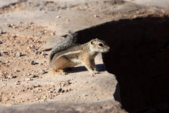 Cute Eastern Chipmunk Stock Photography