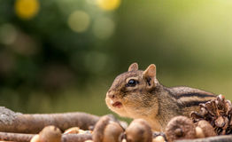 Cute Eastern Chipmunk cautiously looks on with cheeks filled in an Autumn seasonal scene Stock Images