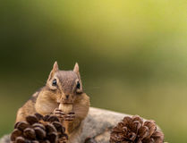 Cute Eastern Chipmunk eats a nut Stock Photos