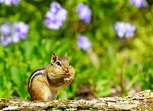 Free Cute Eastern Chipmunk Stuffing Its Cheeks Royalty Free Stock Photography - 213393587