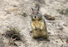 Cute Eastern Chipmunk Stock Photos
