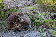 A cute Echidna in Australia Stock Photo