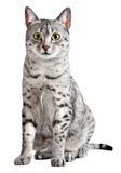 Cute Egyptian Mau Cat Stock Photography