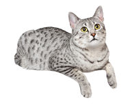 Cute Egyptian Mau Cat. A cute Egyptian Mau breed cat with green eyes relaxing over a ledge Royalty Free Stock Photography