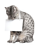 Cute Egyptian Mau Cat. A cute Egyptian Mau breed cat reading the sign she is holding Stock Photo
