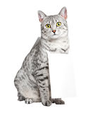 Cute Egyptian Mau Cat Stock Image