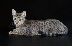 Cute Egyptian Mau Little Kitten Stock Photos
