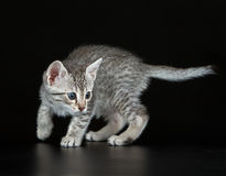 Cute Egyptian Mau Little Kitten Stock Image