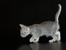 Cute Egyptian Mau Little Kitten Royalty Free Stock Photography