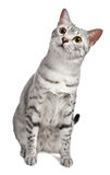 A cute Egyptian Mau looks at camera curiously Stock Photo