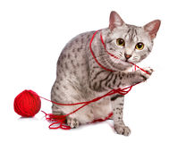 Cute Egyptian Mau plays with yarn. A cute Egyptian Mau cat plays with a red ball of yarn Stock Photo