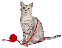 Cute Egyptian Mau with yarn wrapped around her. A cute Egyptian Mau cat sits with red yarn wrapped around her Stock Image