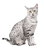 Cute Egyptian Mau with Yellow Eyes Royalty Free Stock Photos