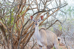 Cute elegant Kudu female head close up and portrait. Wildlife Safari in the Kruger National Park, the main travel destination in S Stock Images