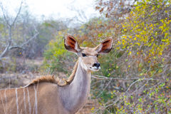 Cute elegant Kudu female head close up and portrait. Wildlife Safari in the Kruger National Park, the main travel destination in S Stock Photos
