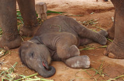 Cute elephant baby sleeping on the ground. Cute elephant baby sleeping on the brown ground stock photos