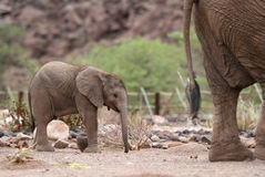 Cute Elephant Calf behind Elephant Cow Royalty Free Stock Images