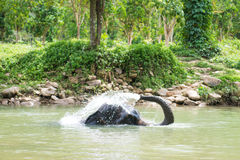 Cute elephant is playing water in canal Royalty Free Stock Photography