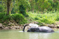 Cute elephant is playing water in canal Royalty Free Stock Images