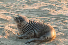 Cute Elephant Seal Royalty Free Stock Photo