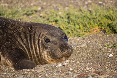Cute Elephant Seal Female Laying on Beach Stock Photography