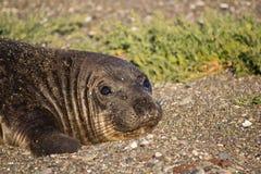 Cute Elephant Seal Female Laying on Beach. Female elephant seal relaxing on beach Stock Photography