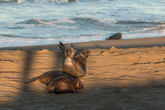 Cute Elephant Seals Resting on the Beach Royalty Free Stock Photo