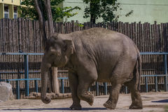 Cute elephant at the zoo. Walking in the sun royalty free stock photography