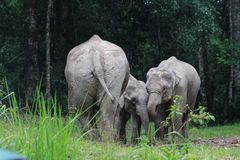 A cute elephants family at salt lick royalty free stock photo