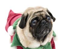 Cute Elf Pug Stock Images