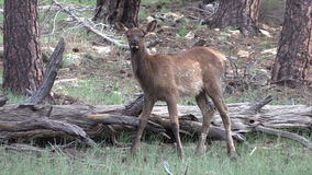 Cute Elk Calf Stock Images