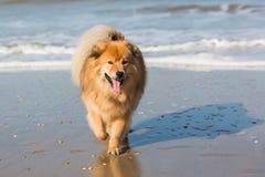 Cute Elo dog at a beach Stock Image