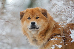 Cute Elo dog in wintry landscape Stock Photos