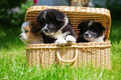 Cute Elo puppies in a case Stock Photography