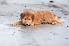 Cute Elo puppy lies at the beach Stock Photography