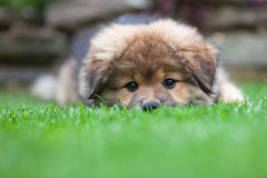 Cute Elo puppy lies in the grass Stock Photography