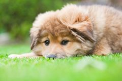 Cute Elo puppy lies lazy in the grass Royalty Free Stock Images