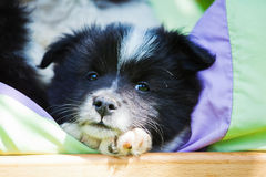 Cute Elo puppy lying in a bed Royalty Free Stock Photo