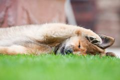 Cute Elo puppy lying in the garden Stock Photos