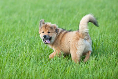 Cute Elo puppy plays in the grass Royalty Free Stock Photo