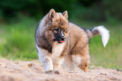 Cute Elo Puppy Plays In A Sand Pit Stock Image