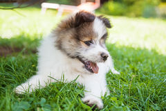 Cute Elo puppy Stock Photos