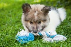 Cute Elo puppy Royalty Free Stock Photos