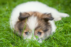 Cute Elo puppy Royalty Free Stock Images